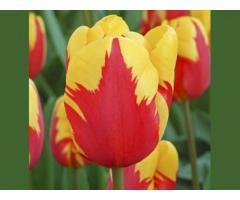 Тюльпаны Оптом к 8 марта 2018