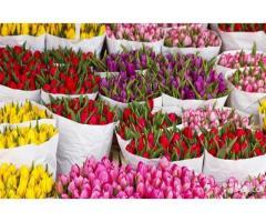 Тюльпаны оптом под срез к 8 марта. Высокое качество Крым 2018