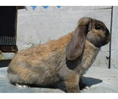 Kролики породы французский баран